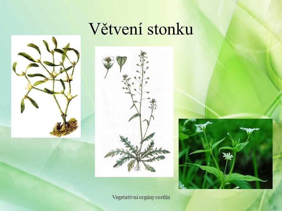 Větvení stonku Vegetativní orgány rostlin
