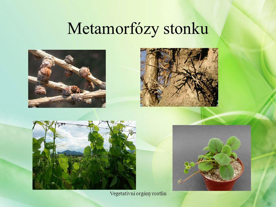 Metamorfózy stonku Vegetativní orgány rostlin