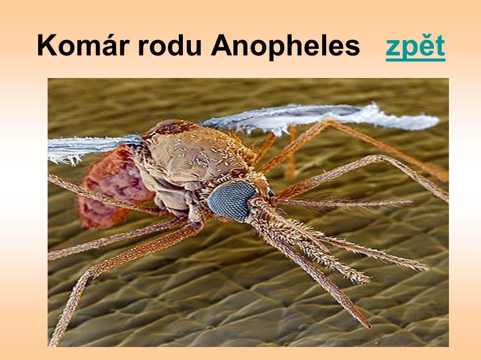 Komár rodu Anopheles zpětzpět