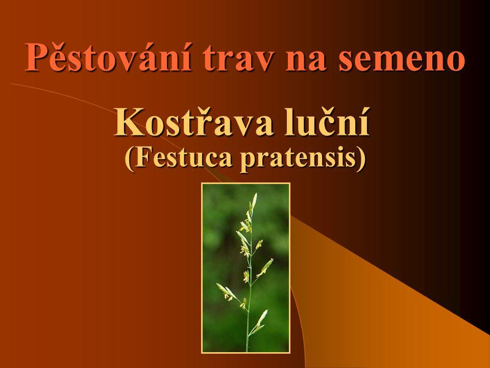 Pěstování trav na semeno Kostřava luční (Festuca pratensis)