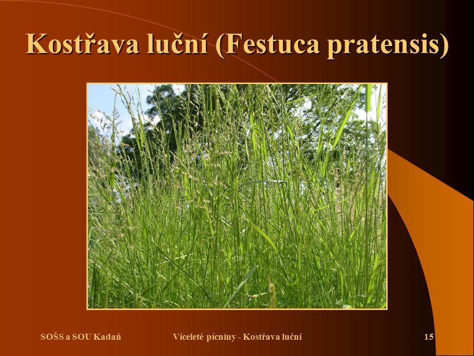 SOŠS a SOU KadaňVíceleté pícniny - Kostřava luční15 Kostřava luční (Festuca pratensis)