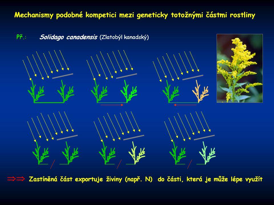 Mechanismy podobné kompetici mezi geneticky totožnými částmi rostliny Solidago canadensis (Zlatobýl kanadský) Př.:  Zastíněná část exportuje živiny