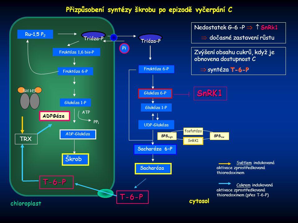 chloroplast cytosol TRX Škrob Trióza-P Pi ADPGáza Fruktóza 6-P Fruktóza 1,6 bis-P Glukóza 1-P ATP PP i ADP-Glukóza Ru-1,5 P 2 Sacharóza 6-P Sacharóza
