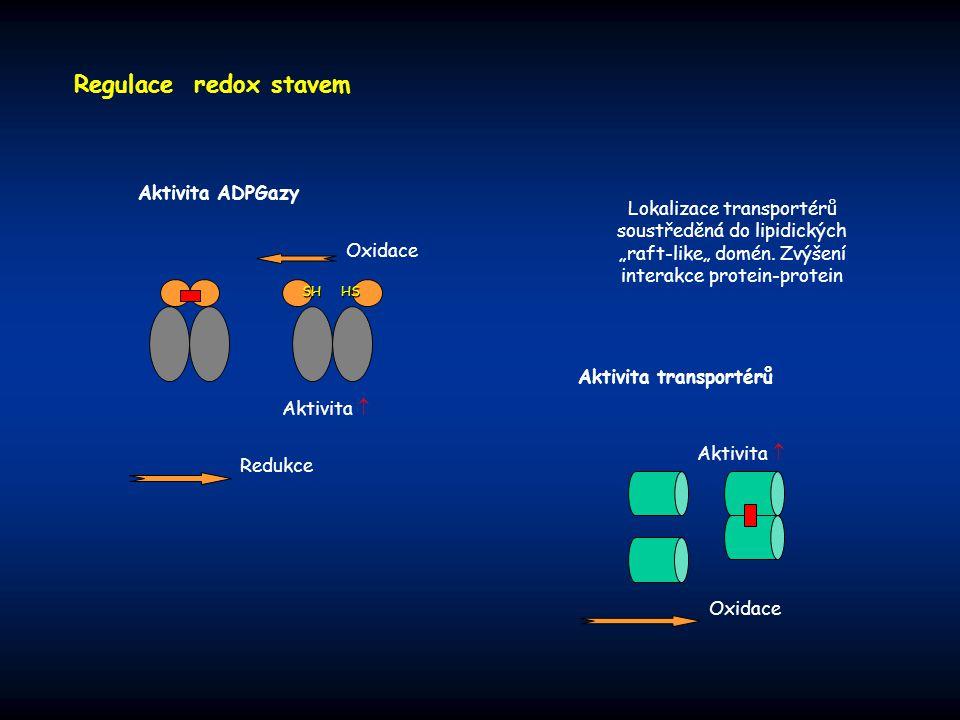 """Regulace redox stavem Aktivita transportérů Aktivita  Oxidace Lokalizace transportérů soustředěná do lipidických """"raft-like"""" domén. Zvýšení interakce"""
