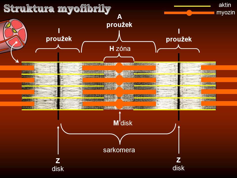 Z disk Z disk sarkomera myozin aktin I proužek I proužek A proužek M disk H zóna