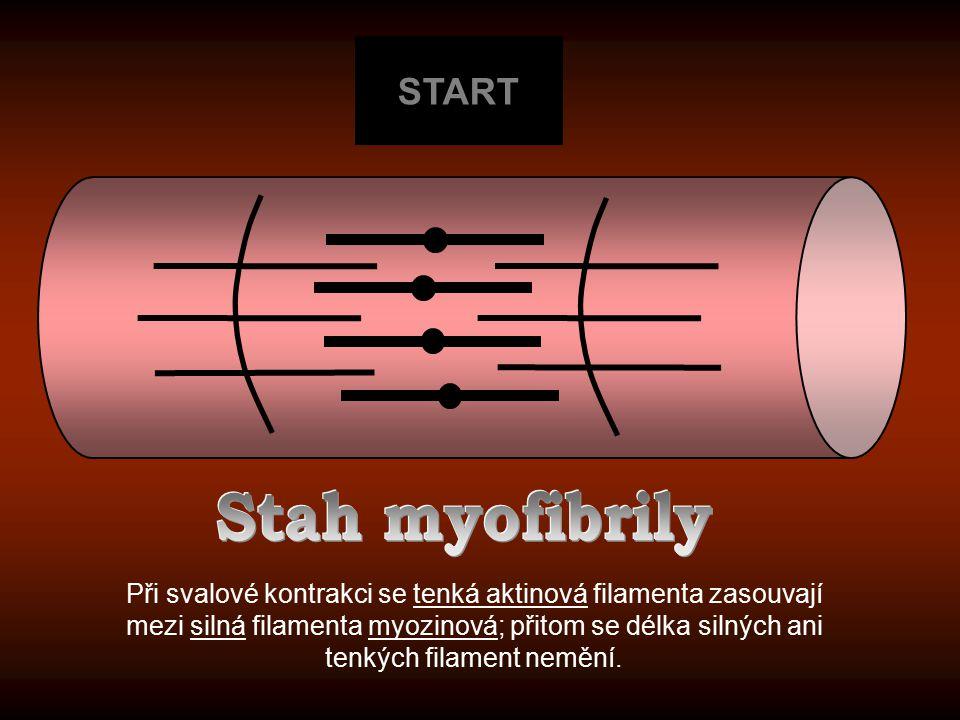 START Při svalové kontrakci se tenká aktinová filamenta zasouvají mezi silná filamenta myozinová; přitom se délka silných ani tenkých filament nemění.