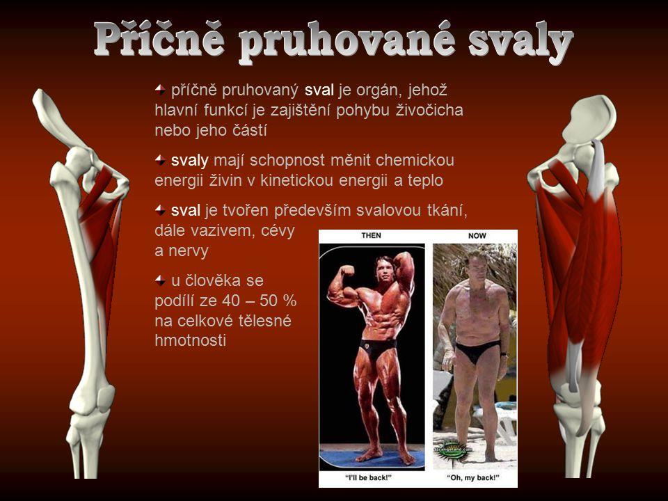 příčně pruhovaný sval je orgán, jehož hlavní funkcí je zajištění pohybu živočicha nebo jeho částí svaly mají schopnost měnit chemickou energii živin v