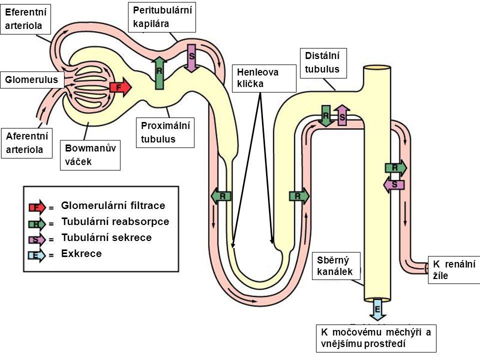 20 Glomerulární filtrace Tubulární reabsorpce Tubulární sekrece Exkrece Distální tubulus Henleova klička Proximální tubulus Glomerulus K močovému měchýři a vnějšímu prostředí Aferentní arteriola Eferentní arteriola Peritubulární kapilára Bowmanův váček Sběrný kanálek K renální žíle