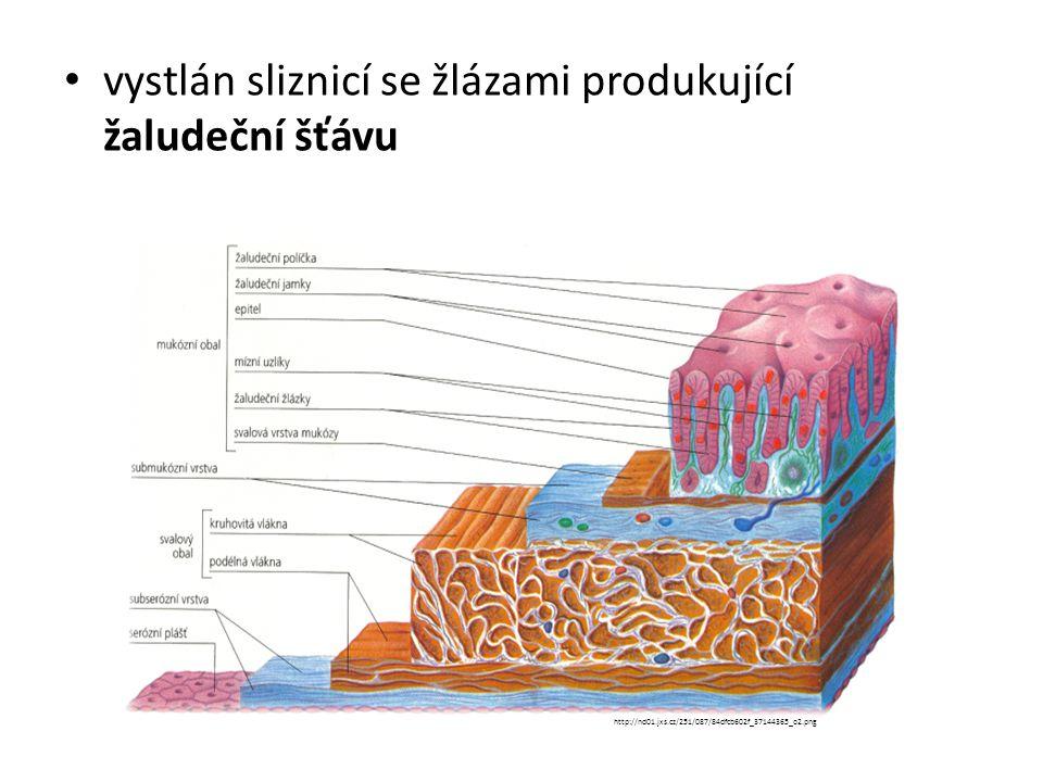 FUNKCE: skladovací: 2 – 3 l potravy mechanické zpracování: peristaltickými pohyby je potrava rozmělněna a promíchána se žaludeční šťávou za vzniku kašovité hmoty – tráveniny chemické zpracování: pomocí žaludeční šťávy