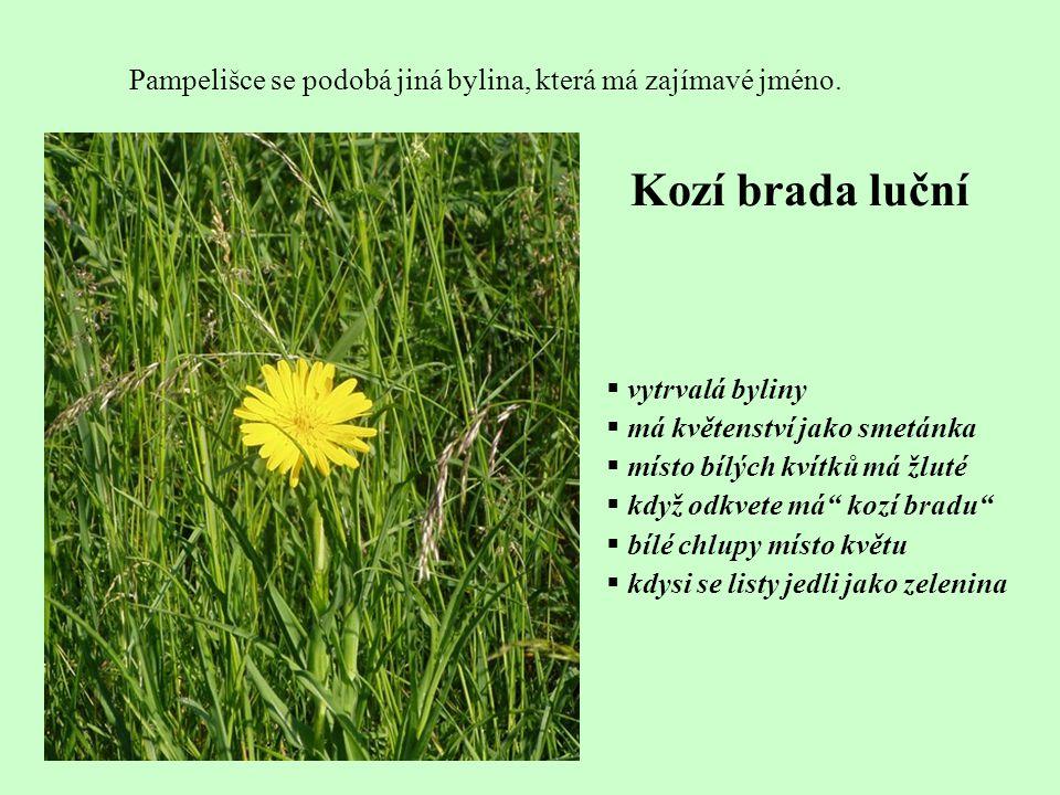 Pampelišce se podobá jiná bylina, která má zajímavé jméno. Kozí brada luční  vytrvalá byliny  má květenství jako smetánka  místo bílých kvítků má ž