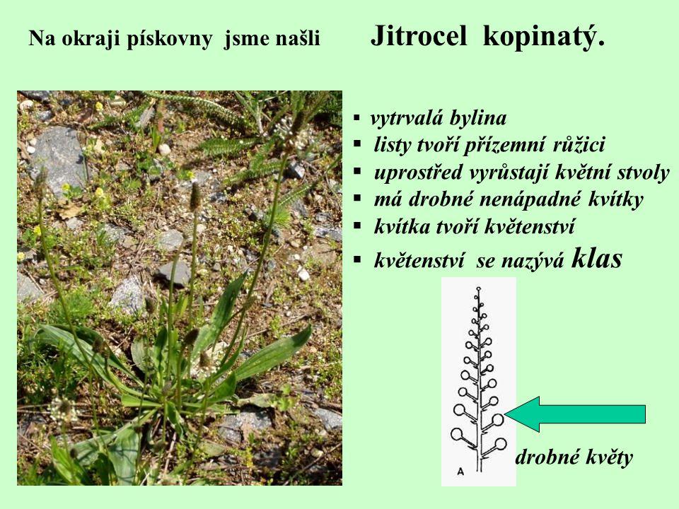 Na okraji pískovny jsme našli Jitrocel kopinatý.  vytrvalá bylina  listy tvoří přízemní růžici  uprostřed vyrůstají květní stvoly  má drobné nenáp