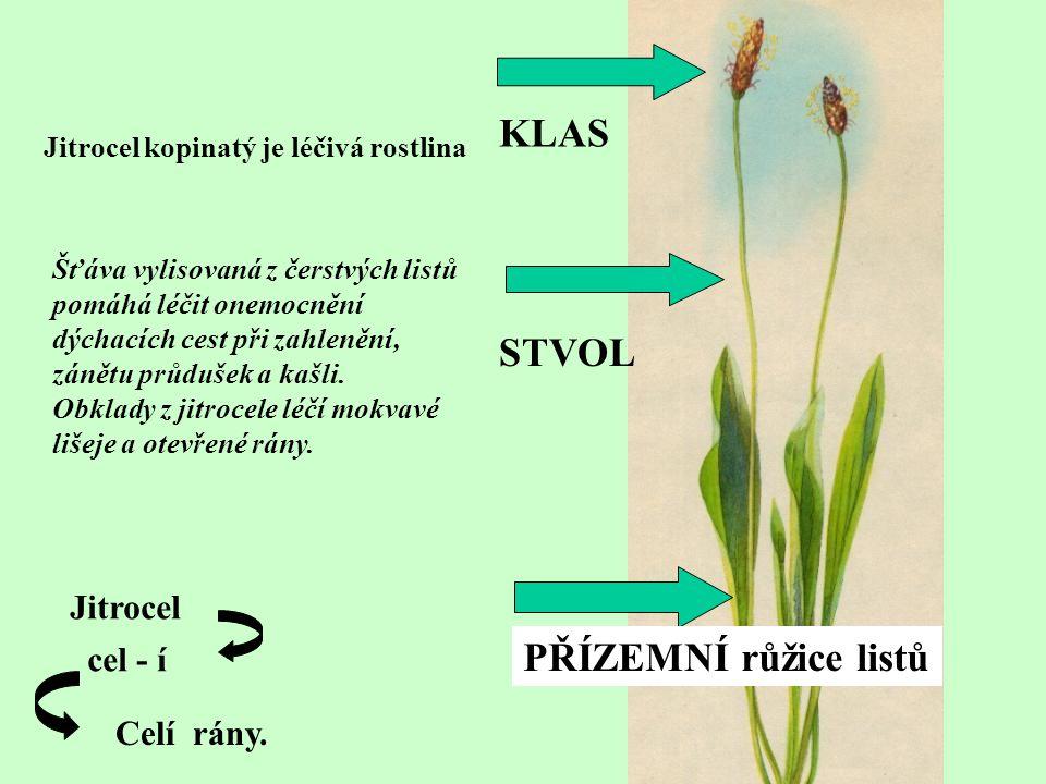 KLAS STVOL PŘÍZEMNÍ růžice listů Jitrocel kopinatý je léčivá rostlina Šťáva vylisovaná z čerstvých listů pomáhá léčit onemocnění dýchacích cest při za