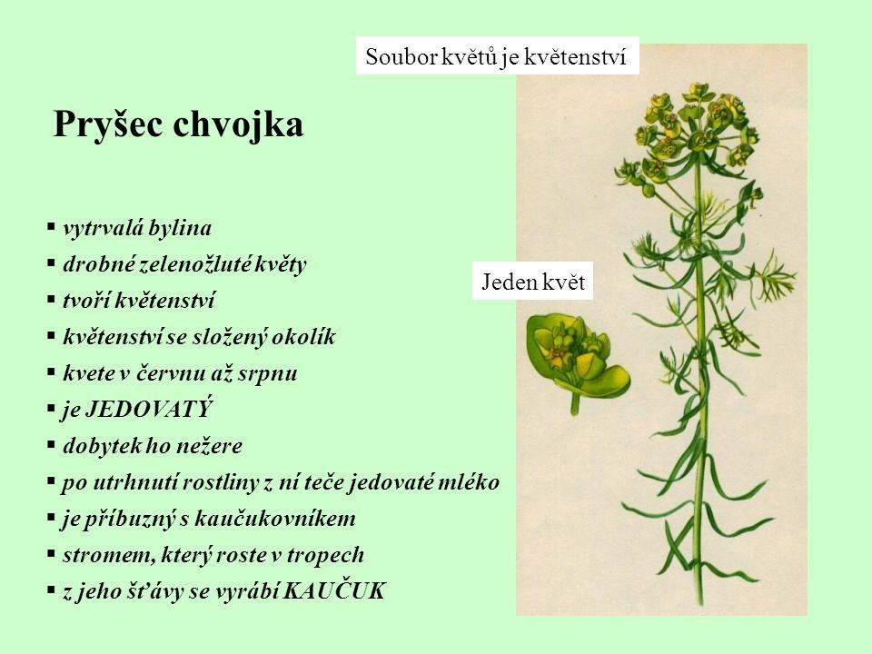 Pryšec chvojka  vytrvalá bylina  drobné zelenožluté květy  tvoří květenství  květenství se složený okolík  kvete v červnu až srpnu  je JEDOVATÝ