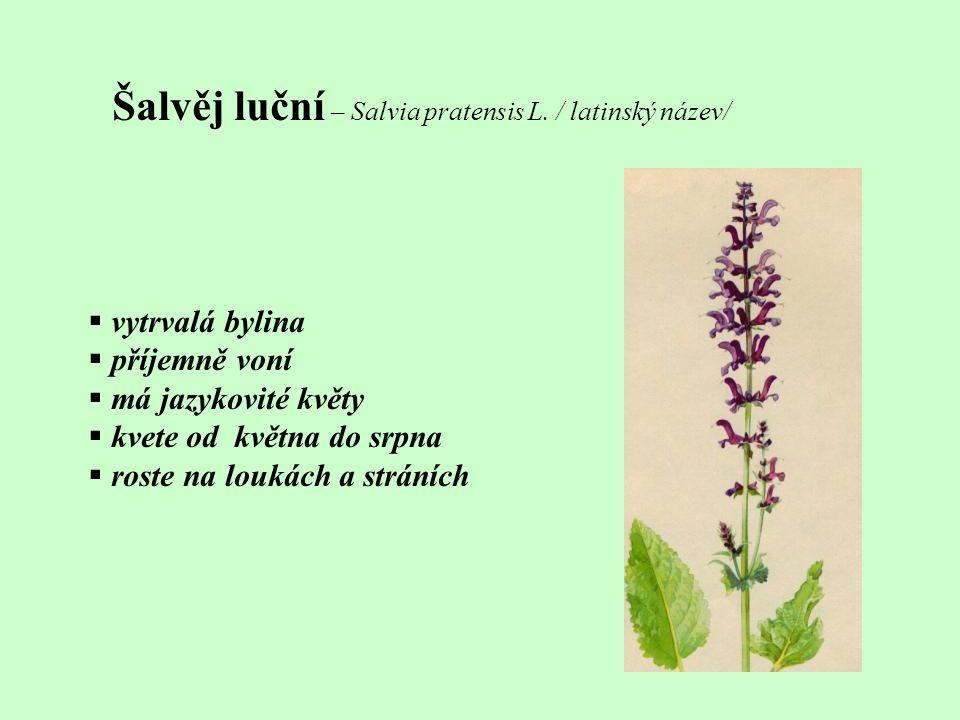 Šalvěj luční – Salvia pratensis L. / latinský název/  vytrvalá bylina  příjemně voní  má jazykovité květy  kvete od května do srpna  roste na lou