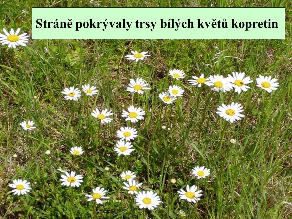 Stráně pokrývaly trsy bílých květů kopretin