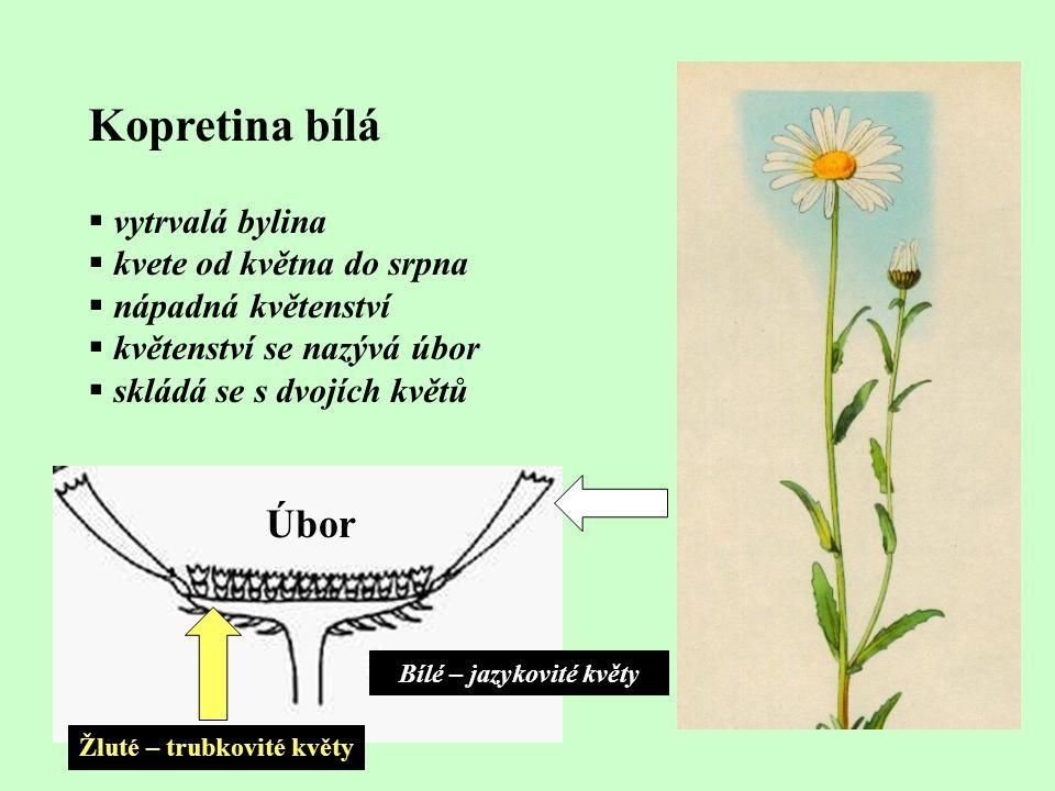 Kopretina bílá  vytrvalá bylina  kvete od května do srpna  nápadná květenství  květenství se nazývá úbor  skládá se s dvojích květů Žluté – trubk