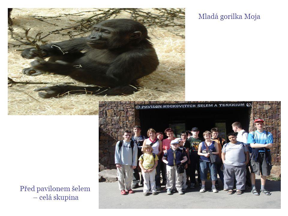 Mladá gorilka Moja Před pavilonem šelem – celá skupina