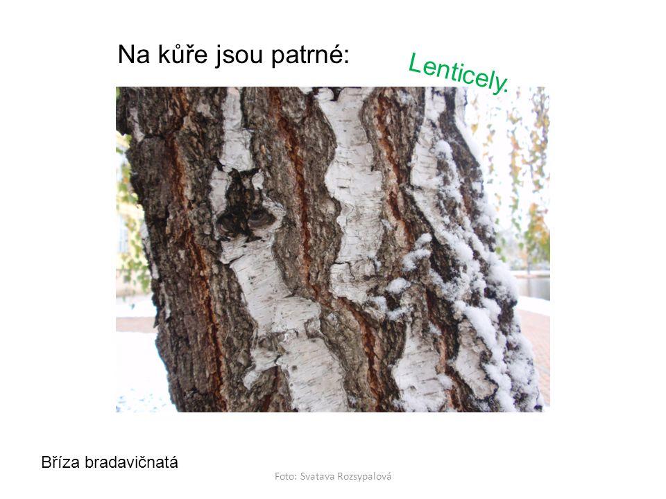 Foto: Svatava Rozsypalová Na kůře jsou patrné: Bříza bradavičnatá Lenticely.