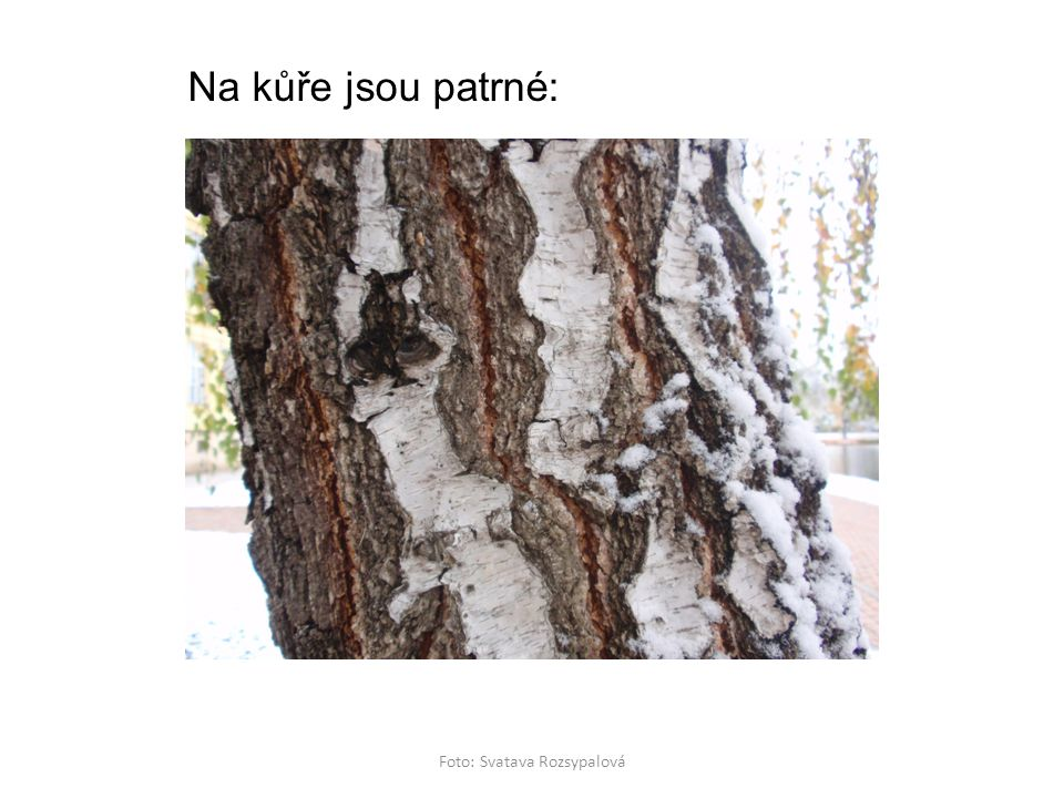 Platan javorolistý Foto: Svatava Rozsypalová