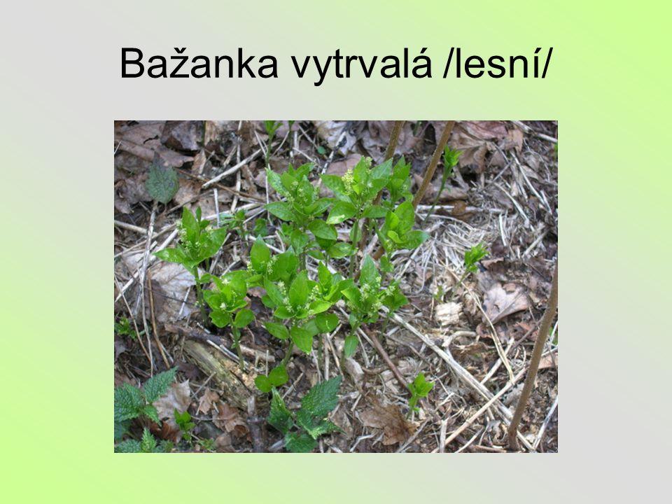 Bažanka vytrvalá /lesní/