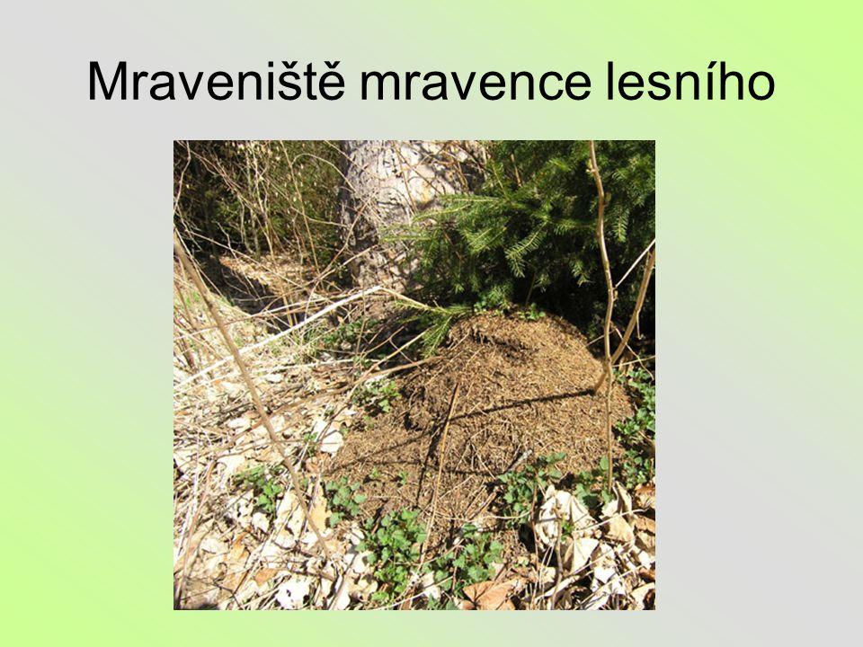 Mraveniště mravence lesního