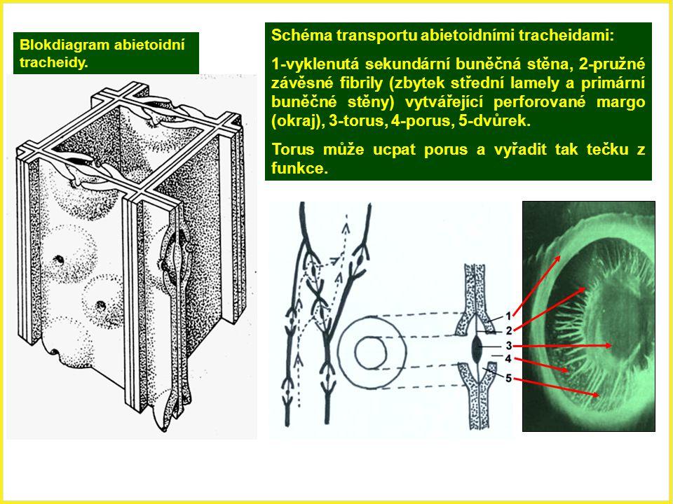 Blokdiagram abietoidní tracheidy. Schéma transportu abietoidními tracheidami: 1-vyklenutá sekundární buněčná stěna, 2-pružné závěsné fibrily (zbytek s