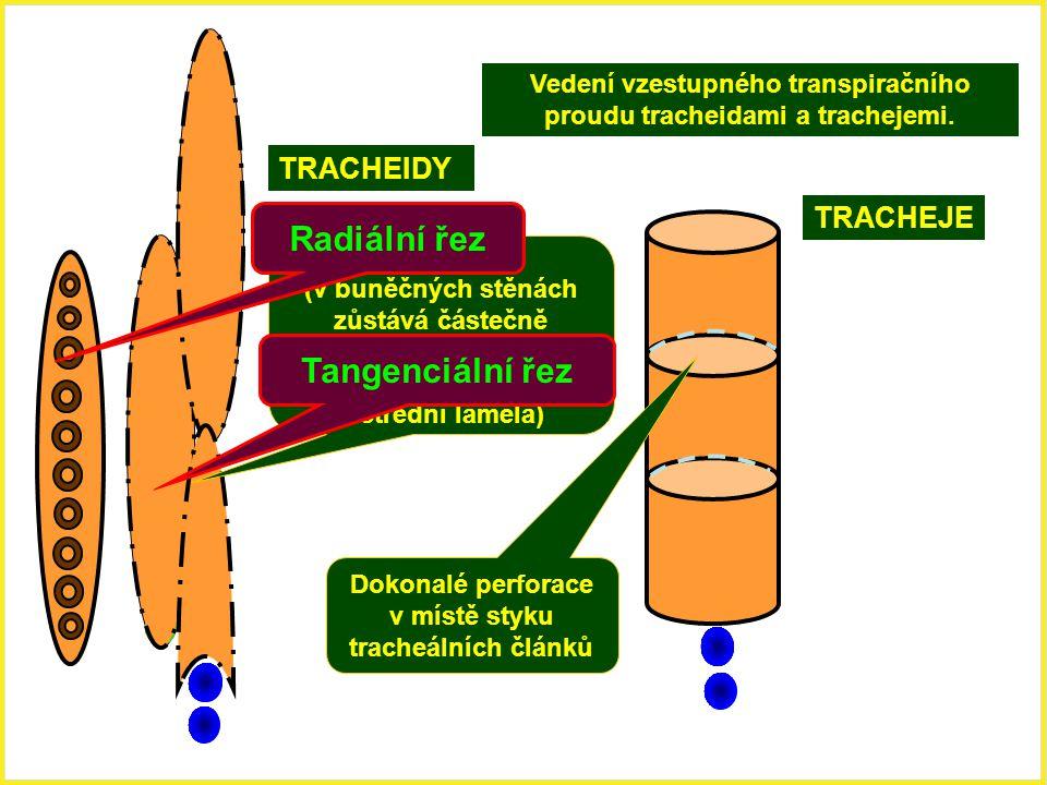 TRACHEIDY TRACHEJE Dokonalé perforace v místě styku tracheálních článků Ztenčeniny (v buněčných stěnách zůstává částečně zachovaná porézní primární bu
