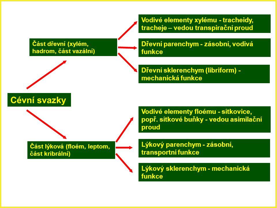 Cévní svazky Část dřevní (xylém, hadrom, část vazální) Část lýková (floém, leptom, část kribrální) Vodivé elementy xylému - tracheidy, tracheje – vedo