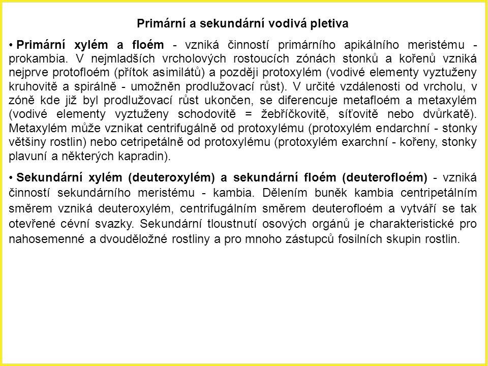 Primární a sekundární vodivá pletiva Primární xylém a floém - vzniká činností primárního apikálního meristému - prokambia. V nejmladších vrcholových r