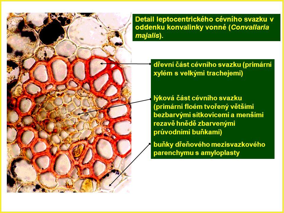Detail leptocentrického cévního svazku v oddenku konvalinky vonné (Convallaria majalis). dřevní část cévního svazku (primární xylém s velkými tracheje