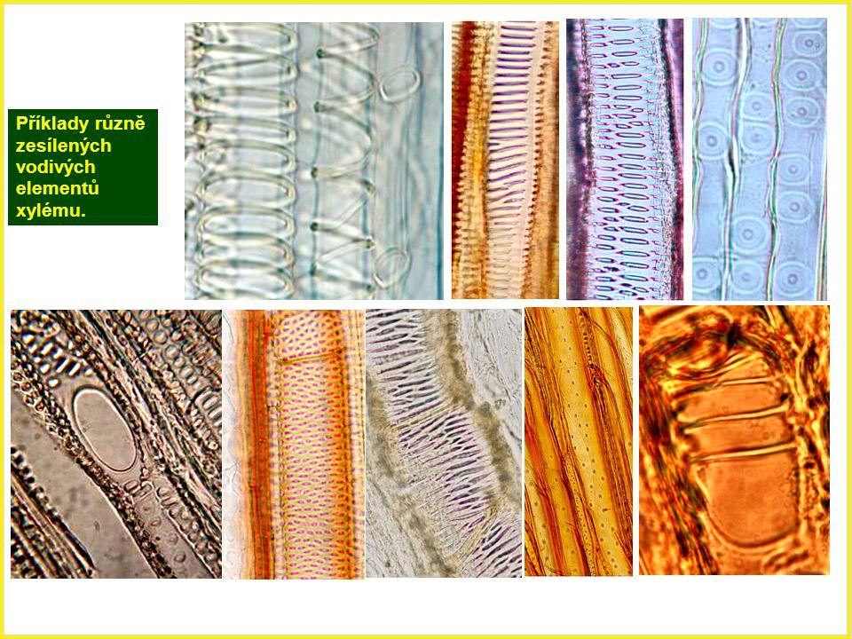 Stavba vodivých elementů xylému tracheidy (cévice) - protáhlé vřetenovité buňky (1mm až několik mm dlouhé, 15 – 40  m široké), v místech styku tracheid nejsou ještě dokonalé perforace, evolučně původnější než trecheje; tracheje (cévy) - protáhlé kapiláry tvořené jednotlivými tracheálními články.