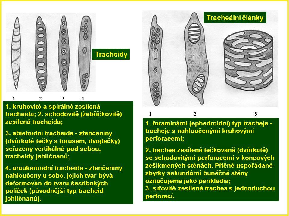 Tracheidy Tracheální články 1 2 3 4 1. kruhovitě a spirálně zesílená tracheida; 2. schodovitě (žebříčkovitě) zesílená tracheida; 3. abietoidní trachei