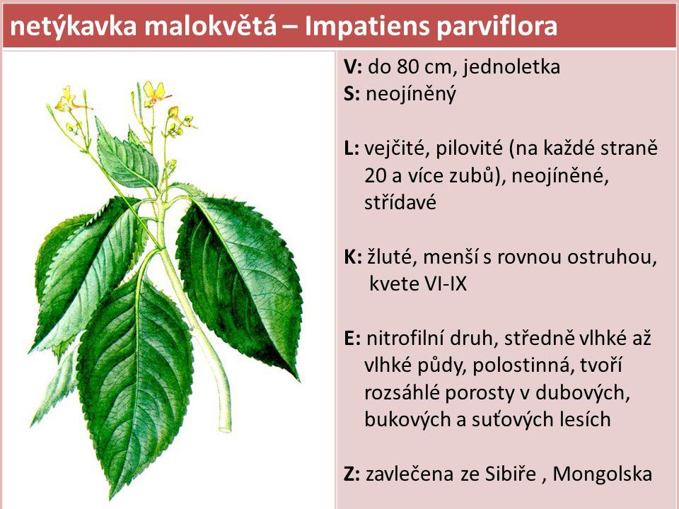 netýkavka malokvětá – Impatiens parviflora V: do 80 cm, jednoletka S: neojíněný L: vejčité, pilovité (na každé straně 20 a více zubů), neojíněné, stří
