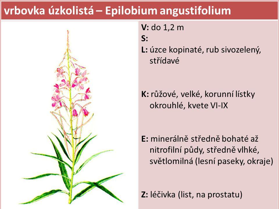 vrbovka úzkolistá – Epilobium angustifolium V: do 1,2 m S: L: úzce kopinaté, rub sivozelený, střídavé K: růžové, velké, korunní lístky okrouhlé, kvete