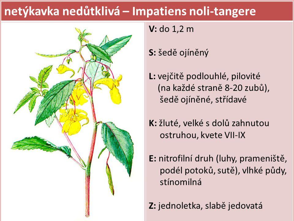 netýkavka malokvětá – Impatiens parviflora V: do 80 cm, jednoletka S: neojíněný L: vejčité, pilovité (na každé straně 20 a více zubů), neojíněné, střídavé K: žluté, menší s rovnou ostruhou, kvete VI-IX E: nitrofilní druh, středně vlhké až vlhké půdy, polostinná, tvoří rozsáhlé porosty v dubových, bukových a suťových lesích Z: zavlečena ze Sibiře, Mongolska