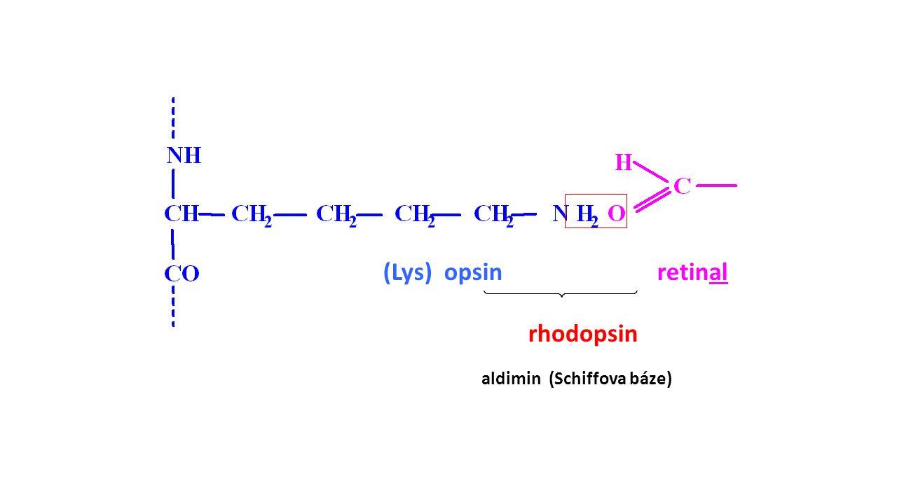 retinal(Lys) opsin  rhodopsin aldimin (Schiffova báze)