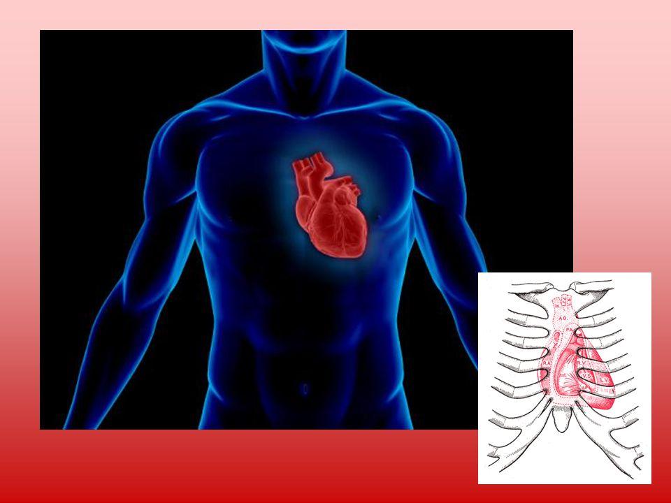Krevní oběh Srdce žene krev do plic.Tam se okysličí a tělní tepny jí rozvádějí po celém těle.