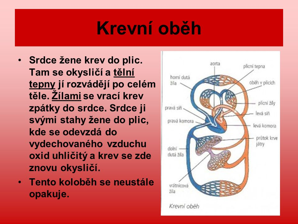 Krev – životodárná tekutina Funkce krve: Rozvádí do těla kyslík, živiny a další látky (např.