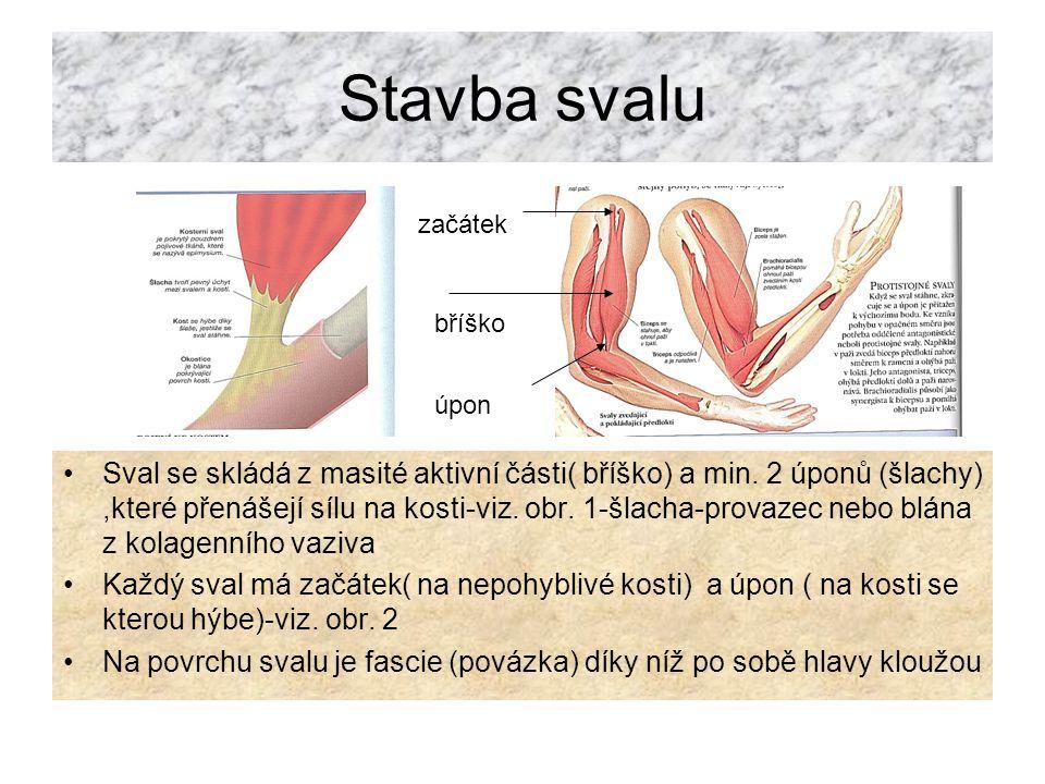 Stavba svalu Sval se skládá z masité aktivní části( bříško) a min.