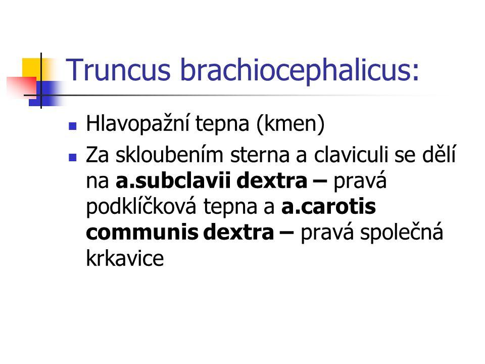 Truncus brachiocephalicus: Hlavopažní tepna (kmen) Za skloubením sterna a claviculi se dělí na a.subclavii dextra – pravá podklíčková tepna a a.caroti