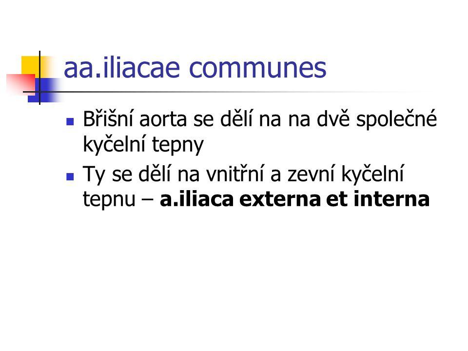 aa.iliacae communes Břišní aorta se dělí na na dvě společné kyčelní tepny Ty se dělí na vnitřní a zevní kyčelní tepnu – a.iliaca externa et interna