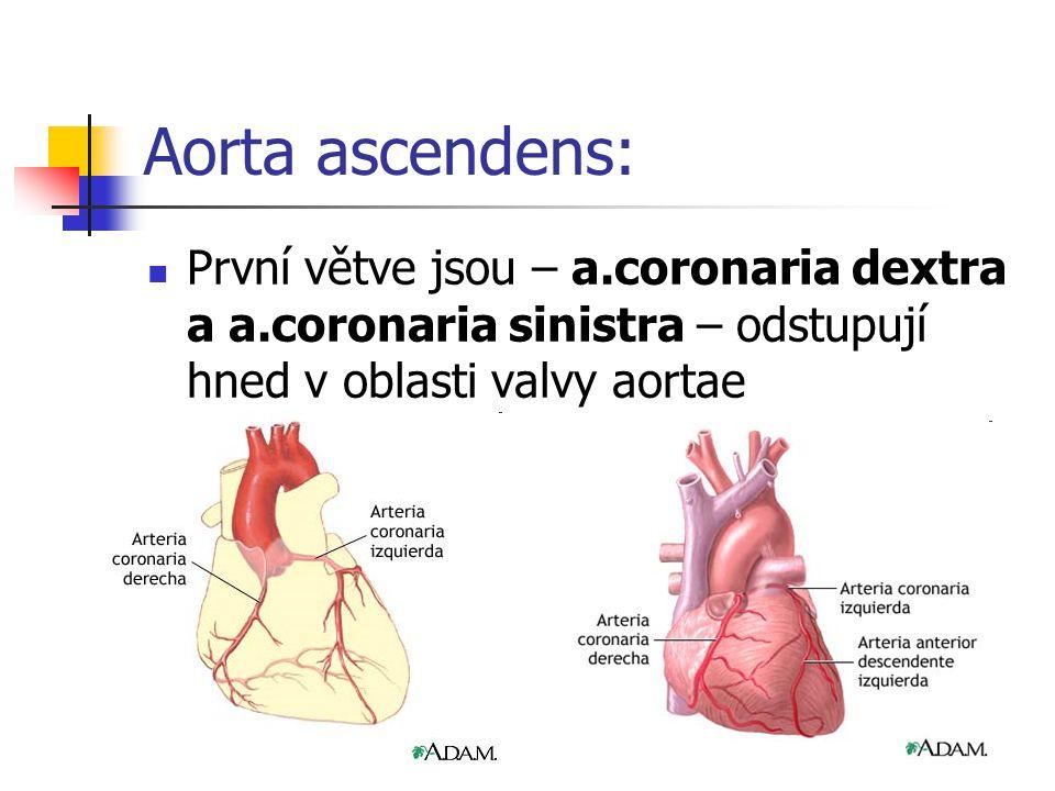 Aorta ascendens: První větve jsou – a.coronaria dextra a a.coronaria sinistra – odstupují hned v oblasti valvy aortae