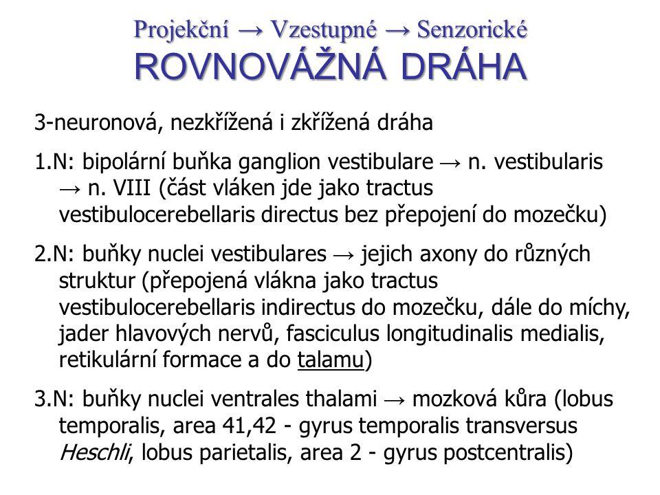 Projekční → Vzestupné → Senzorické ROVNOVÁŽNÁ DRÁHA 3-neuronová, nezkřížená i zkřížená dráha 1.N: bipolární buňka ganglion vestibulare → n. vestibular
