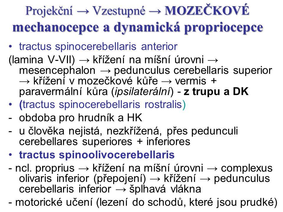 Projekční → Vzestupné → MOZEČKOVÉ mechanocepce a dynamická propriocepce tractus spinocerebellaris anterior (lamina V-VII) → křížení na míšní úrovni →