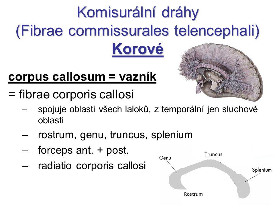 Komisurální dráhy (Fibrae commissurales telencephali) Korové corpus callosum = vazník = fibrae corporis callosi –spojuje oblasti všech laloků, z tempo