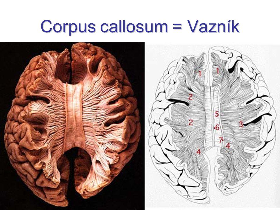 Corpus callosum = Vazník