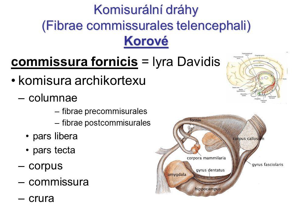 "Komisurální dráhy (Fibrae commissurales telencephali) Korové commissura anterior – pars anterior (""olfactoria ) spojuje čichové oblasti komisura paleokortexu – pars posterior spojuje oblasti temporálního laloku kromě sluchových a hipokampových"