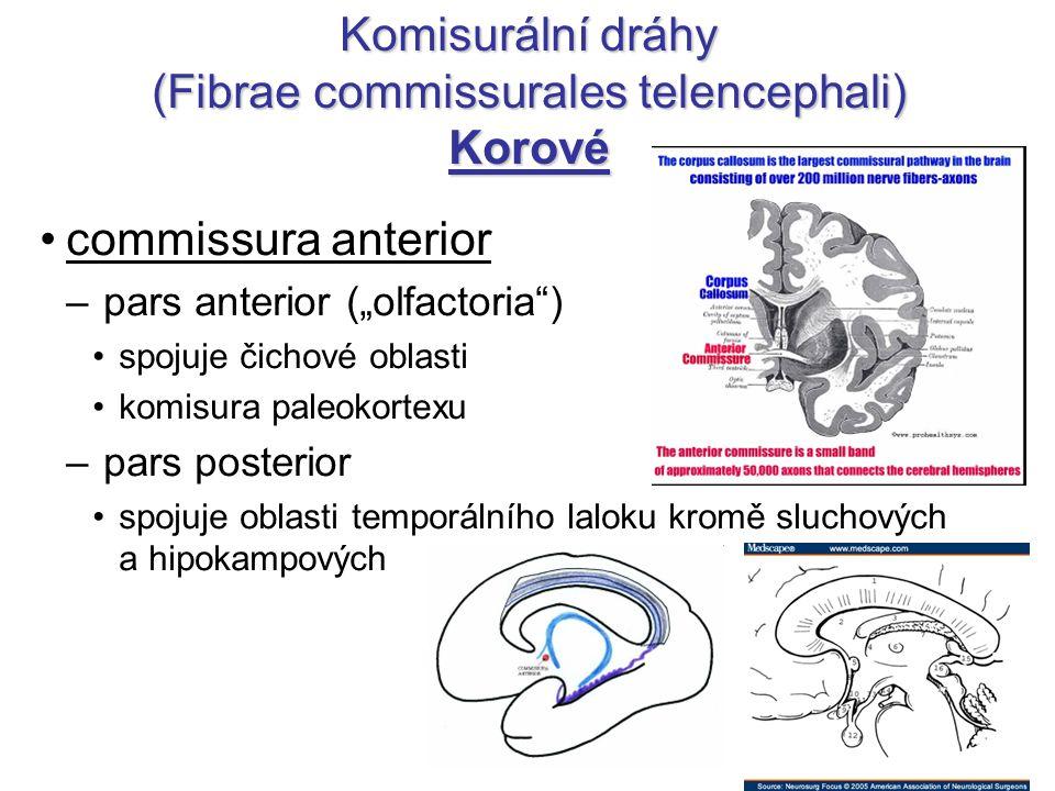 "Komisurální dráhy (Fibrae commissurales telencephali) Korové commissura anterior – pars anterior (""olfactoria"") spojuje čichové oblasti komisura paleo"