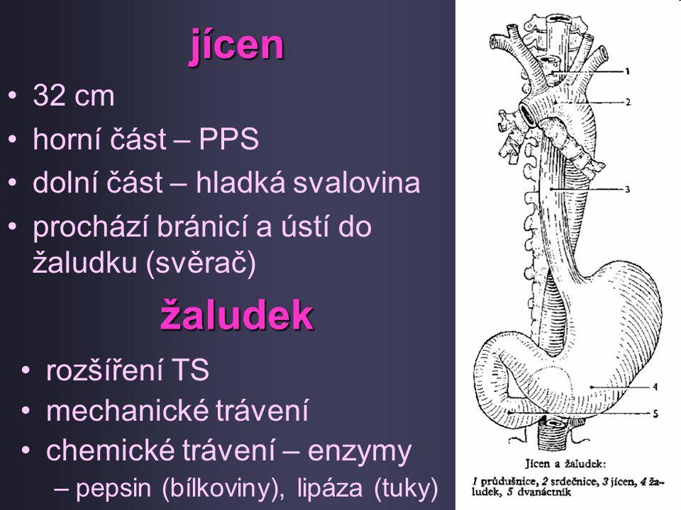 jícen 32 cm horní část – PPS dolní část – hladká svalovina prochází bránicí a ústí do žaludku (svěrač) žaludek rozšíření TS mechanické trávení chemick