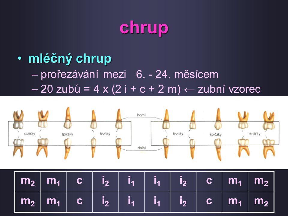 chrup mléčný chrupmléčný chrup –prořezávání mezi 6. - 24. měsícem –20 zubů = 4 x (2 i + c + 2 m) ← zubní vzorec m2m2 m1m1 ci2i2 i1i1 i1i1 i2i2 cm1m1 m